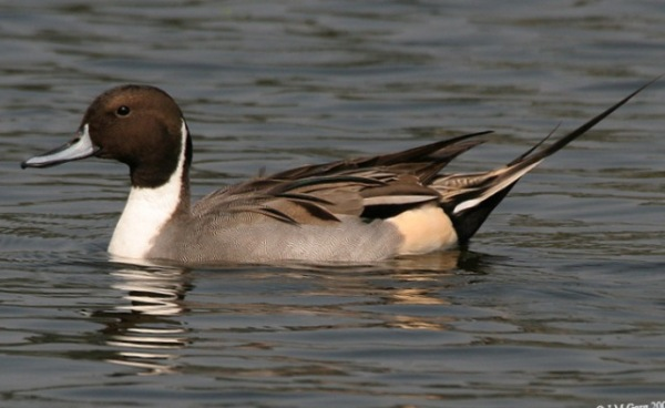 Northern_Pintail_(Male)_I2_IMG_1123