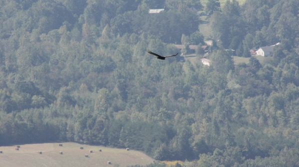 Turkey Vulture over the Piedmont