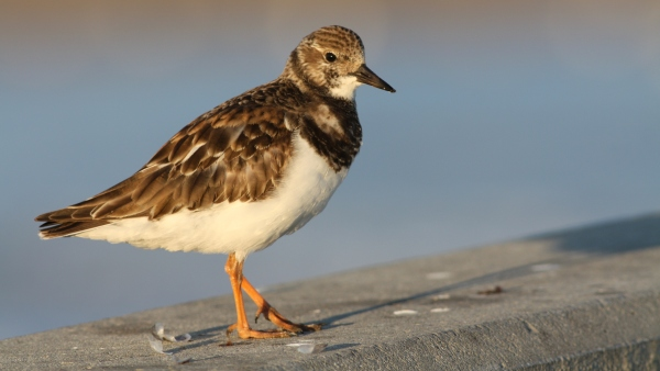 Ruddy Turnstone - Wrightsville Beach, New Hanover Co, NC