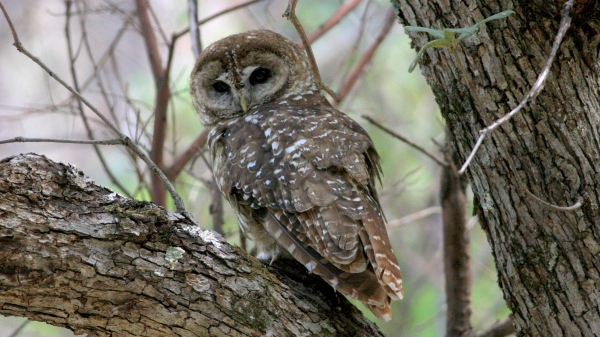 Spotted Owl - Miller Canyon, Cochise Co, Az