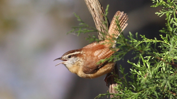 Carolina Wren - Falls Lake, Durham Co, NC