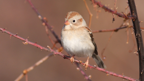 Field Sparrow - Mason Farm, Orange Co, NC
