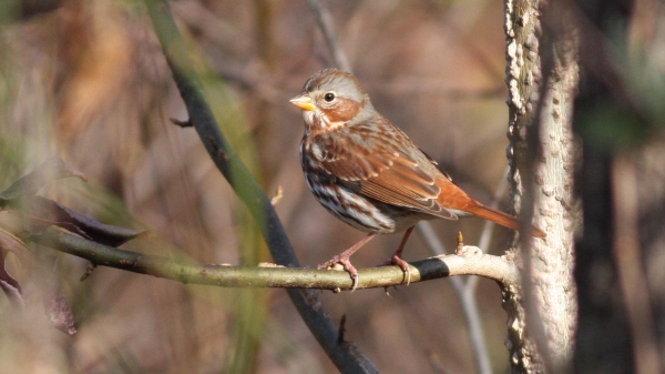 Fox Sparrow - Mason Farm, Orange Co, NC