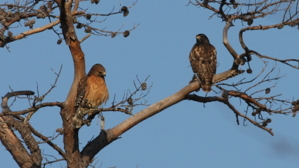 Red-shouldered Hawks - Orange Co, NC