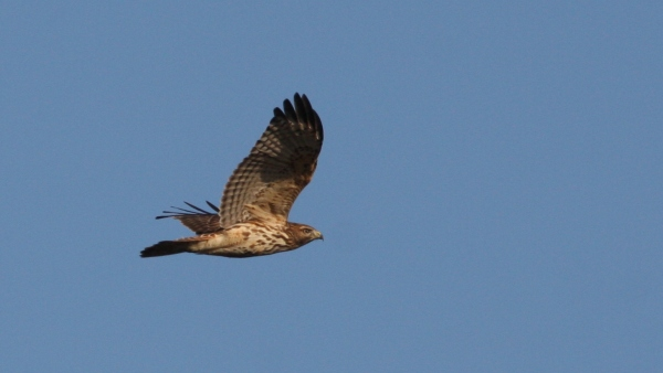 Red-shouldered Hawk - Orange Co, NC