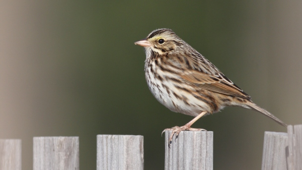 Savannah Sparrow - Orange Co, NC