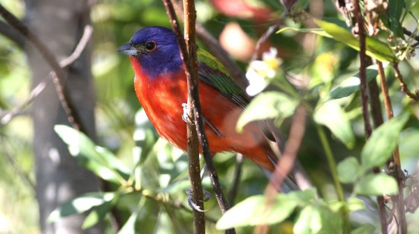 Painted Bunting - Orange Co, Fl
