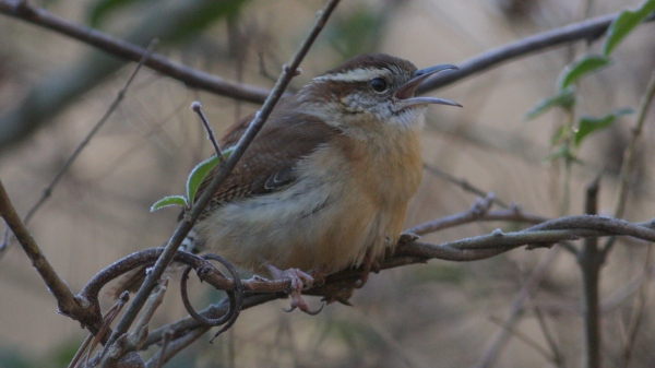 Carolina Wren - Falls Lake Dam, Wake Co, NC