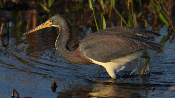 Tricolored Heron - Viera Wetlands, Brebard Co, Fl