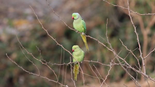 Rose-ringed Parakeets - Ahmedabad, Gujarat