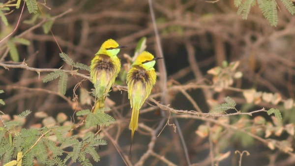 Green Bee-eaters in Ahmedebad, India.  Incredible beautiful and incredibly common