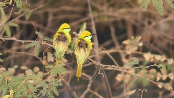 Green Bee-eater - Ahmedabad, Gujarat