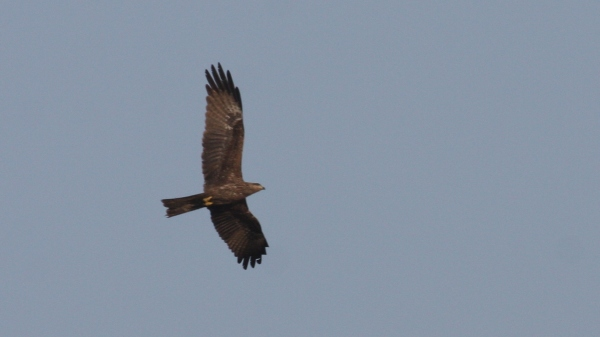 Black Kite  - Ahmedabad, Gujarat