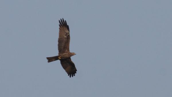 Black Kite  - Ahmedabad, Gujarat