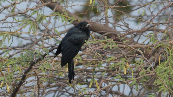Asian Koel - Ahmedabad, Gujarat