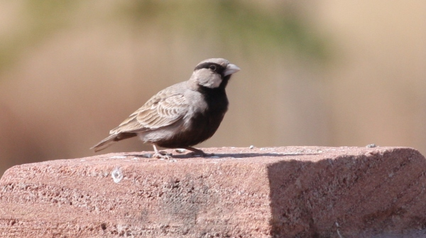 Ashy-crowned Sparrow Lark - Gujarat, India