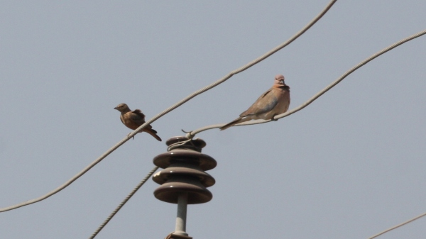 Red-tailed Lark, Laughing Dove - Gujarat, India