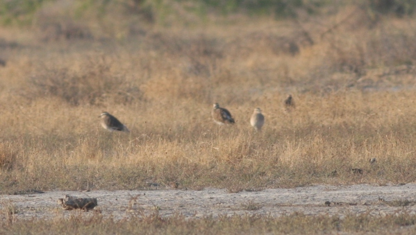 Sociable Lapwing - Gujarat, India
