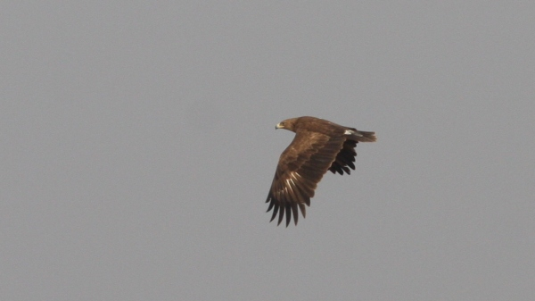 Steppe Eagle - Chaari Lake, Gujarat, India