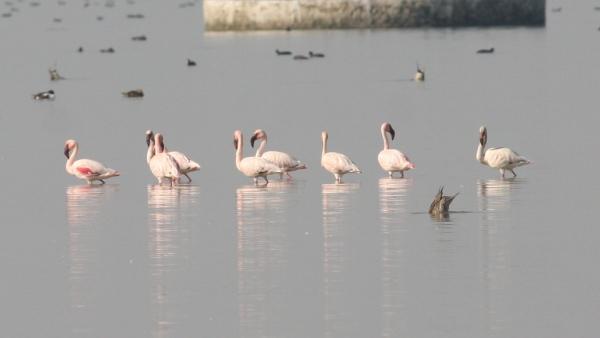 Lesser Flamingo - Chaari Lake, Gujarat, India