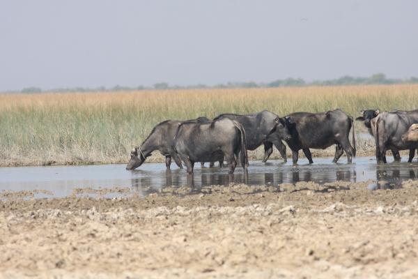 Water Buffalo - Chaari Lake, Gujarat, India