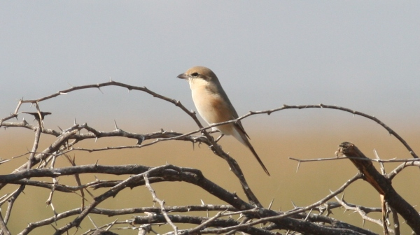 Rufous-tailed (Isabelline) Shrike - Chaari Lake, Gujarat, India