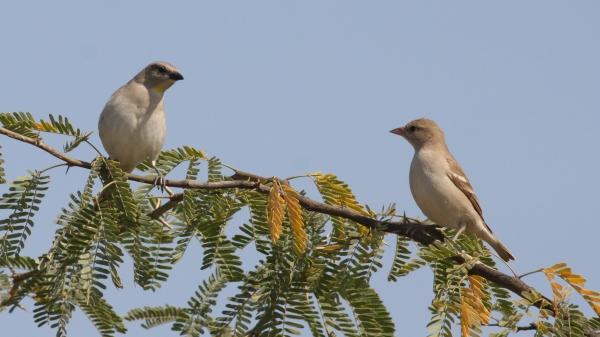Chestnut-shouldered Petronia - Chaari Lake, Gujarat, India