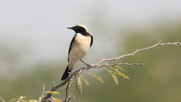 Desert Wheatear - Chaari Lake, Gujarat, India25