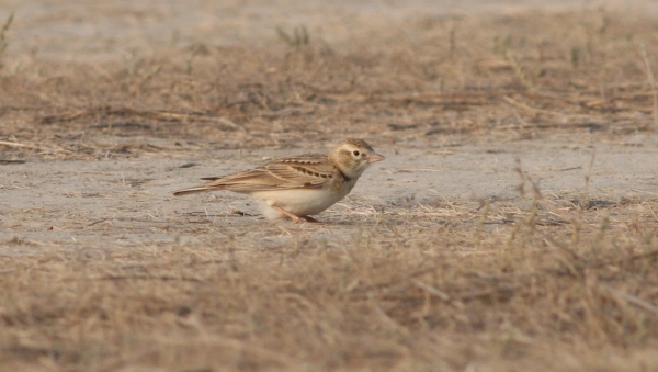 Greater SHort-toed Lark - Gujarat, India