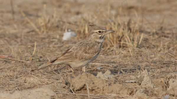 Crested Lark - Gujarat, India