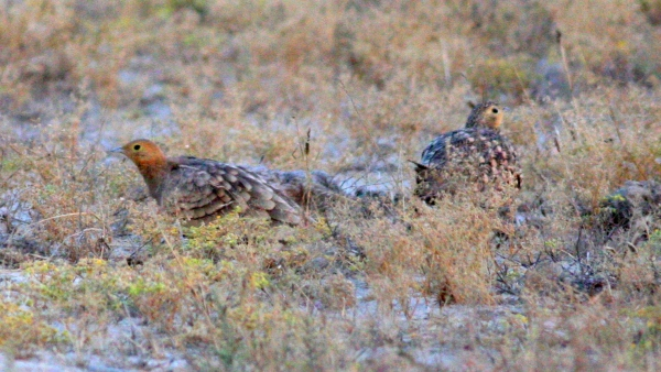 Chestnut-bellied Sandgrouse - Tent City, Gujarat, India