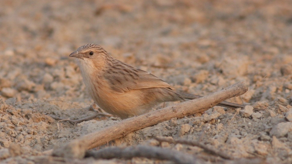 Common Babbler - Tent City, Gujarat, India