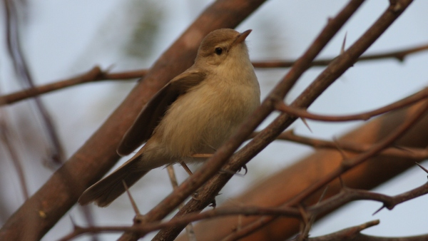 Syke's Warbler - Tent City, Gujarat, India