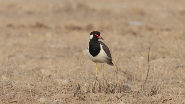 Red-wattled Lapwing - Tent City, Gujarat, India
