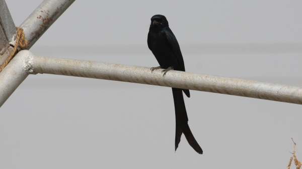 Black Drong - Gujarat, India