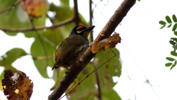 Coppersmith Barbet - Sanjay Gandhi NP, Mumbai, India
