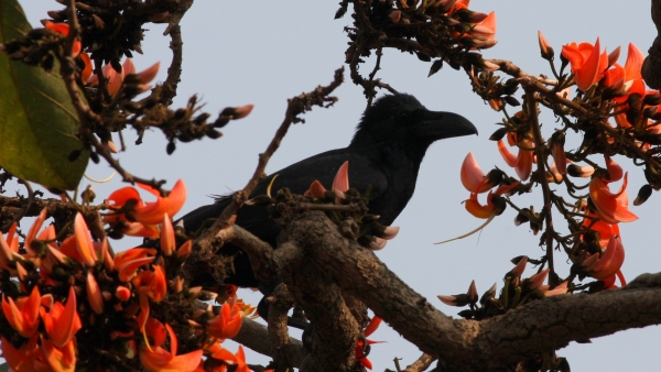 Indian Jungle Crow - Sanjay Gandhi NP, Mumbai, India
