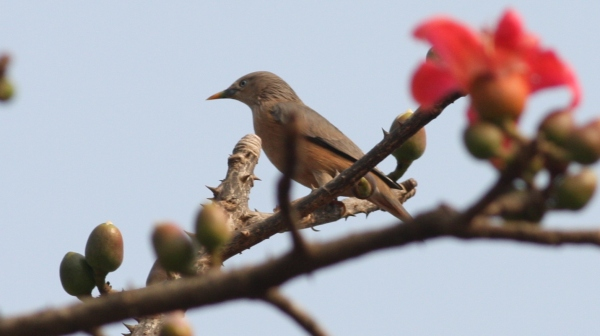 Chestnut-tailed Starling - Sanjay Gandhi NP, Mumbai, India