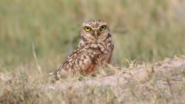 Burrowing Owl - Spanish Lagoon, Aruba