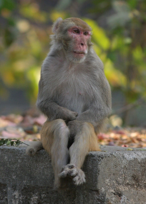 Rhesus Macaque - Sanjay Gandhi National Park, Mumbai, India