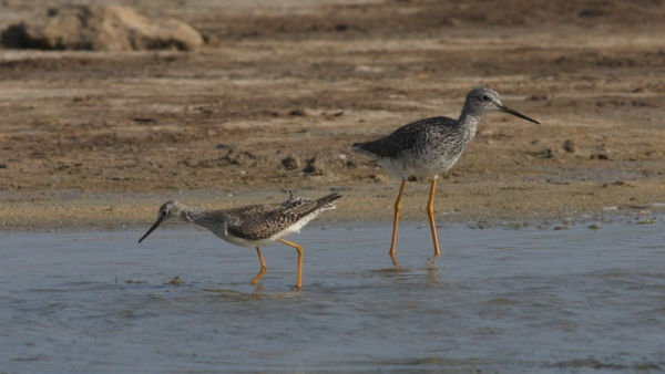 Greater Yellowlegs, Lesser Yellowlegs - Aruba