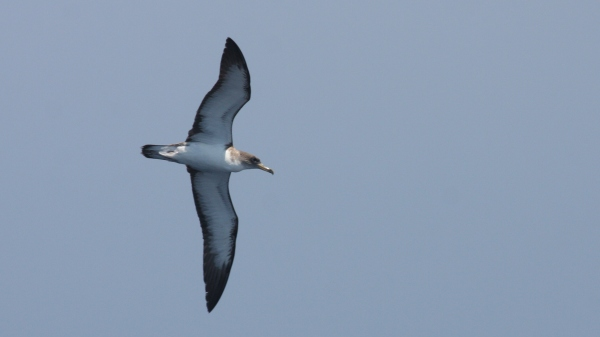 Cory's Shearwater, off Hatteras, NC