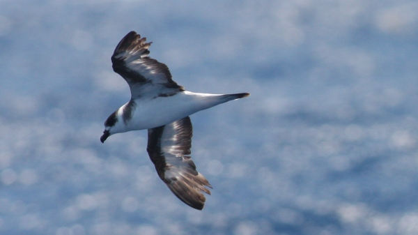 Black-capped Petrel - off Hatteras, NC