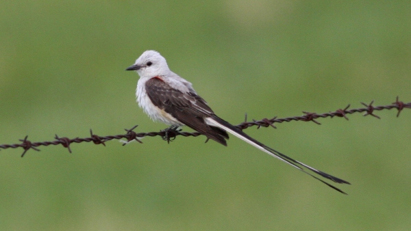 Scissor-tailed Flycatcher, Christian Co, Mo