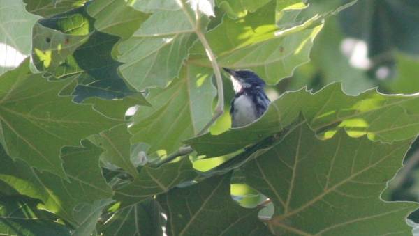 Cerulean Warbler, Christian Co, Mo
