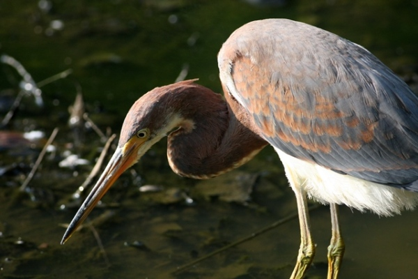 Tricolored Heron - Greensboro Bog Garden, Guilford Co, NC