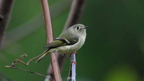 Ruby-crowned Kinglet - Guilford Co, NC
