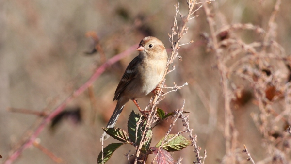 Feild Sparrow - Guilford Co, NC