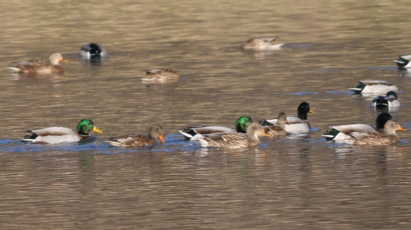 Mallards are filthy common, but they're still smart looking birds this time of year.