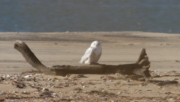 Snowy Owl - Cape Point, Dare Co, NC